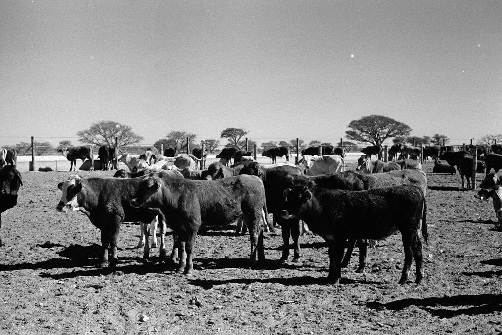 Cattle. Gobabis.
